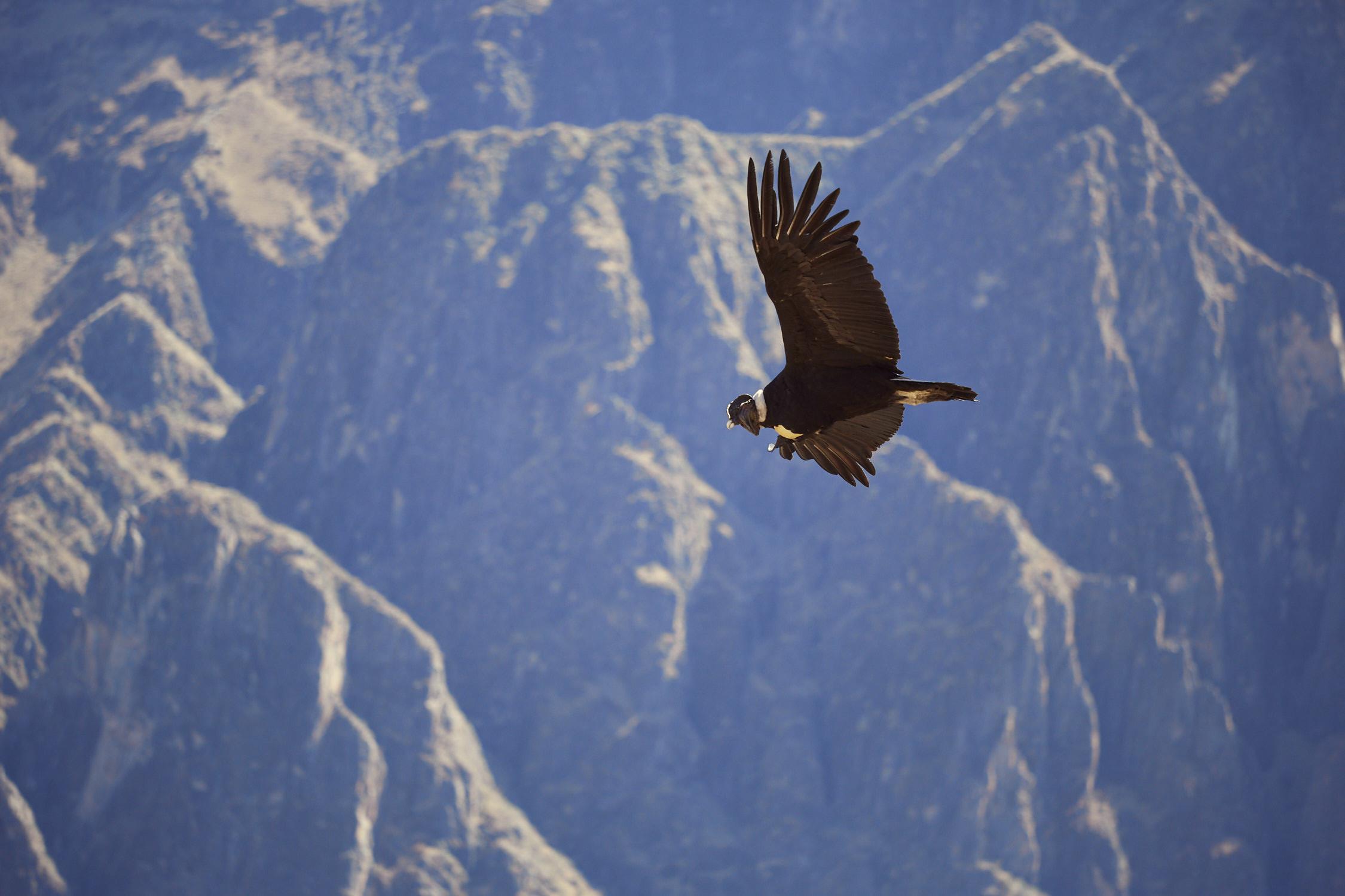 Der Andenkondor im Flug, Teil 2 einer Strecke aus drei Bildern