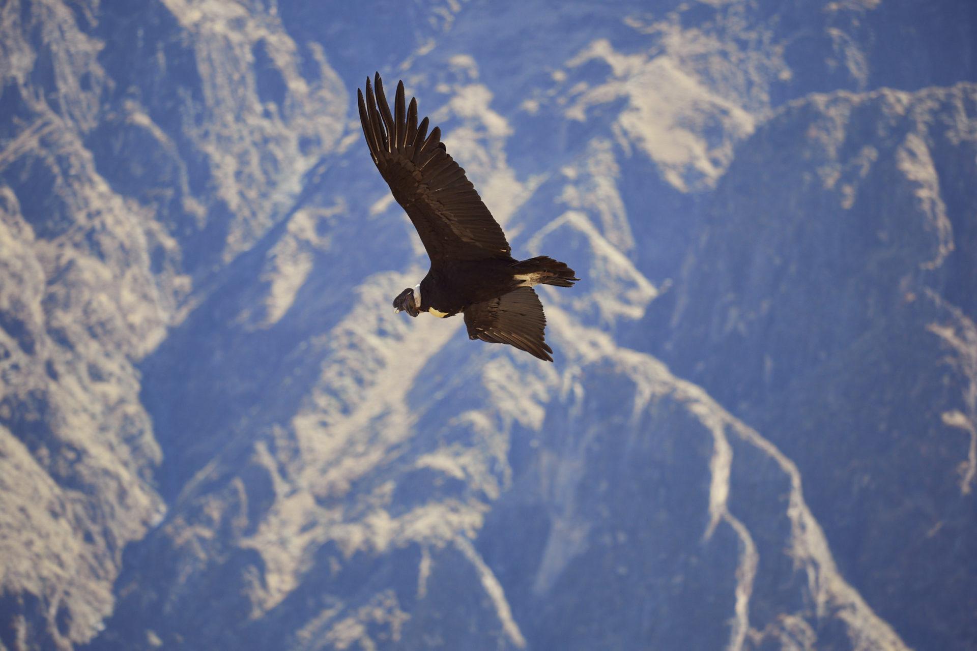 Der Andenkondor im Flug, Teil einer Strecke aus drei Bildern