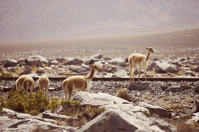 Guanacos auf Bahnschienen, gesehen entlang der Route von Arequipa nach Chivay, Richtung Colca Canyon, am Anfang des Reserva Nacional de Salinas y Aguada Blanca