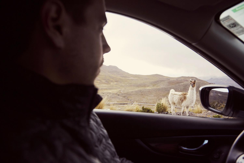 Vicunas am Straßenrand schauen zu uns ins Auto hinein. Oder ist es vielleicht doch ein Lama?