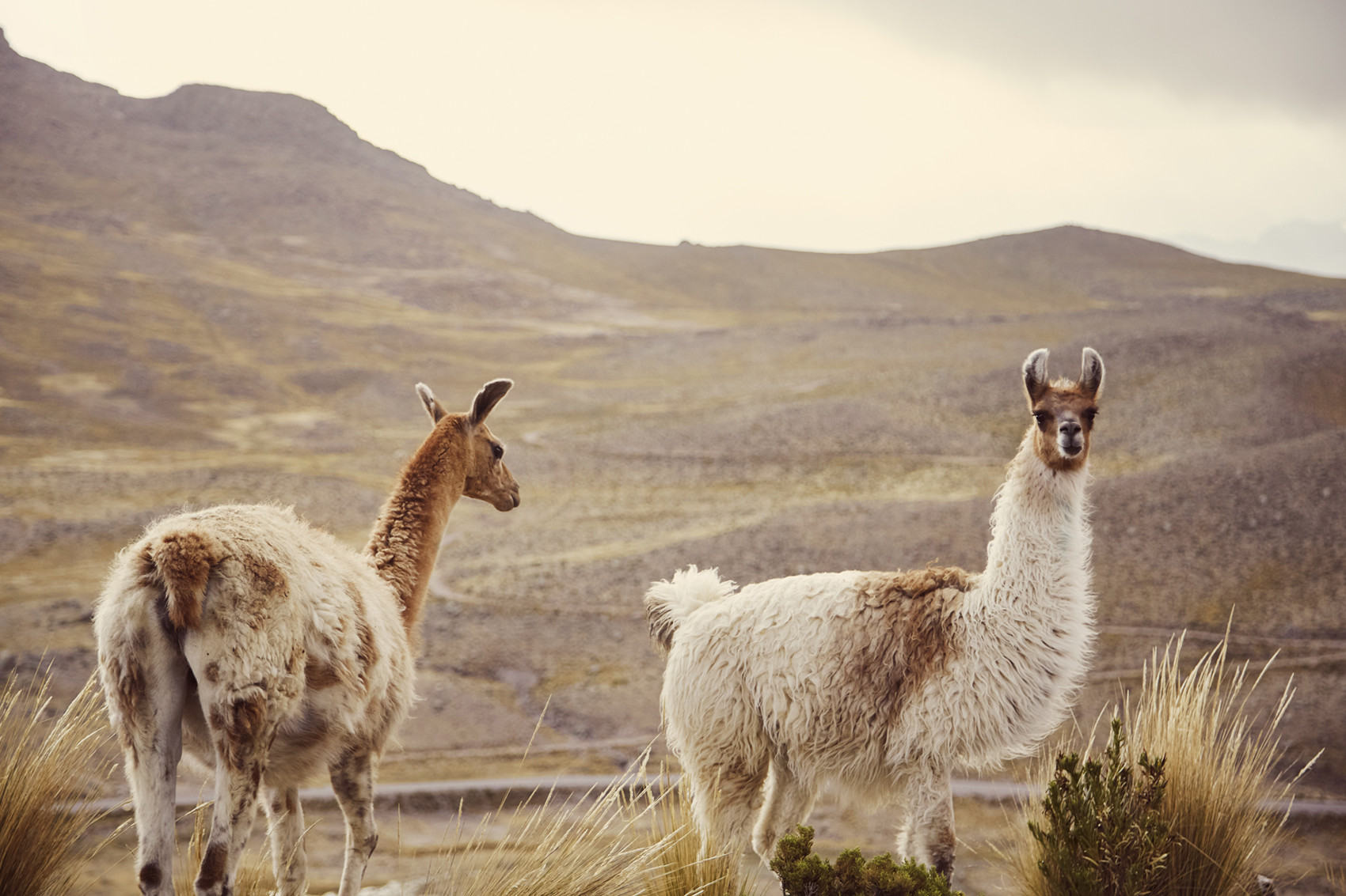 Vicuna und Lama direkt am Straßenrand. Ein weiterer Grund selbst mit dem Auto in Peru zu fahren: Man kann jederzeit einen Stopp einlegen um die süßen Vikunas, Alpakas oder Guanacos zu fotografieren