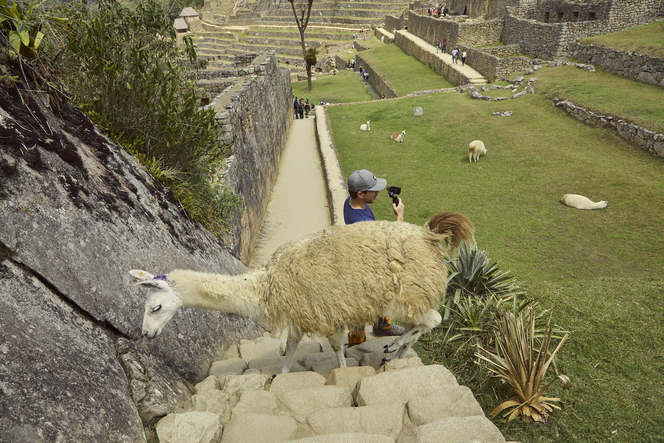 Direkt hinter Ronnie marschiert das Lama ganz schamlos vorbei. Es wirkt fast, als würde es Ronnie anrempeln