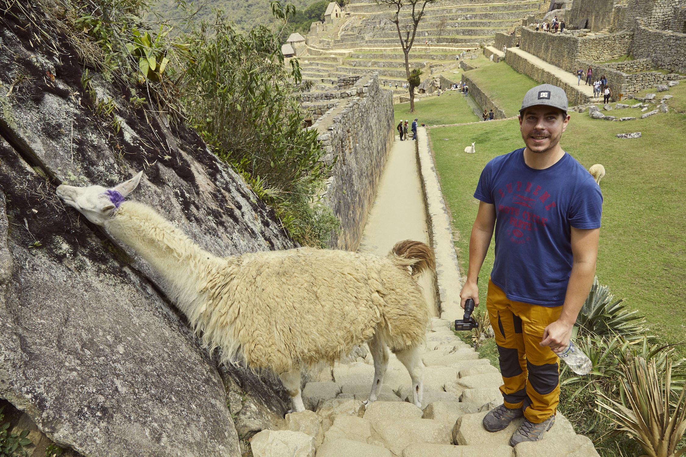 Das Lama lief hinter Ronnie hoch und begann das Gras von der Ruine zu fressen.