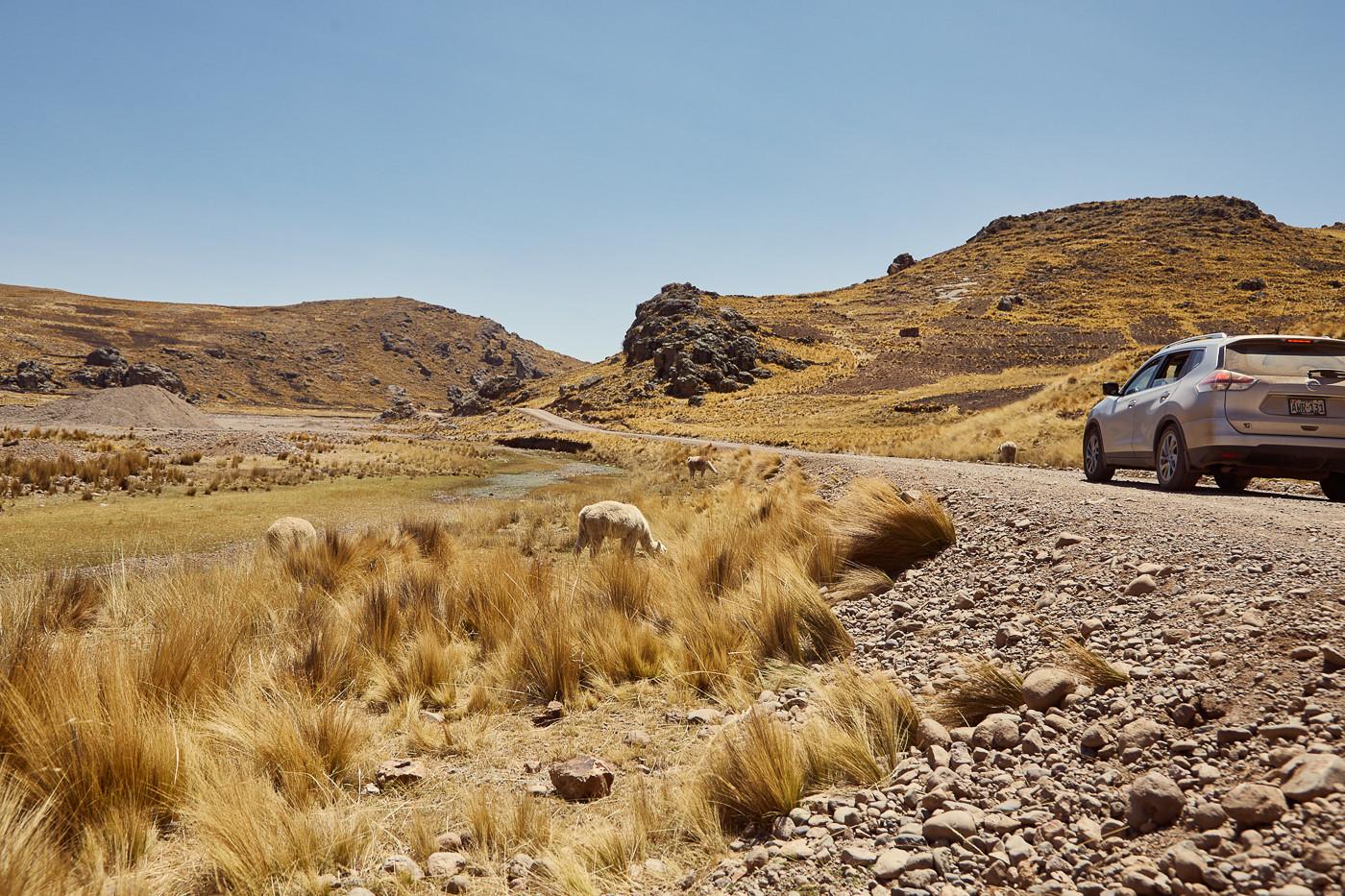Wer selbst mit dem Auto in Peru unterwegs ist; dem werden immer wieder Alpakas am Straßenrand begegnen. Wichtig ist es aber; die Tiere nicht zu bedrängen; da sie wie Pferde Fluchttiere sind.