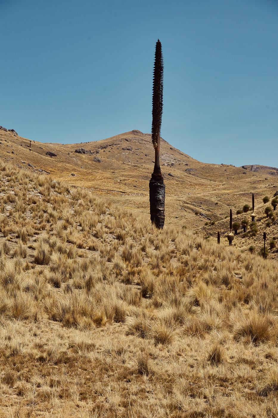 Die vom Aussterben bedrohnte Riesenbromelie Puya Raimondii gesehen auf unserer Autofahrt Richtung Cusco