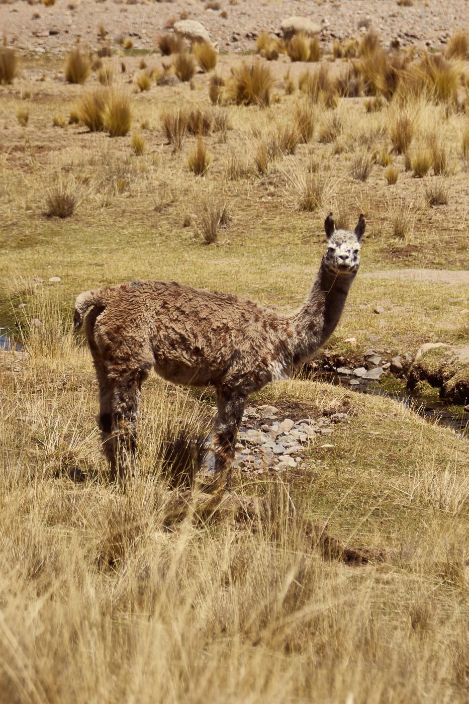 braunes Alpaka in Peru. Wenn man in Peru selbst mit dem Auto unterwegs ist; dann wird man immer wieder Alpakas am Straßenrand begegnen. Wichtig ist es aber; die Tiere nicht zu bedrängen; da sie wie Pferde Fluchttiere sind.