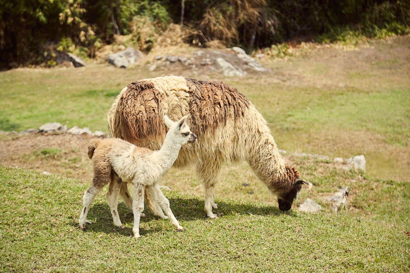Alpakas in Machu Picchu