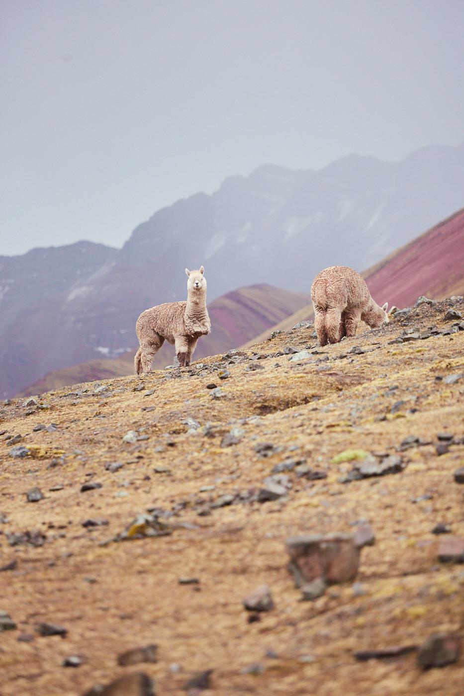 Alpaks schauten uns beim Vorbeigehen zu und hoben hier und da mal ihren Kopf. Vor der roten Kulisse des Red Valley sahen die Alpakas extra flauschig aus