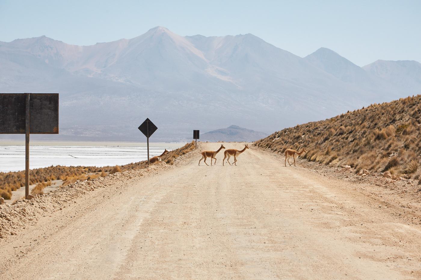 Guanacos im Nationalpark Salinas y Aguada Blanca während unserer Peru Reise