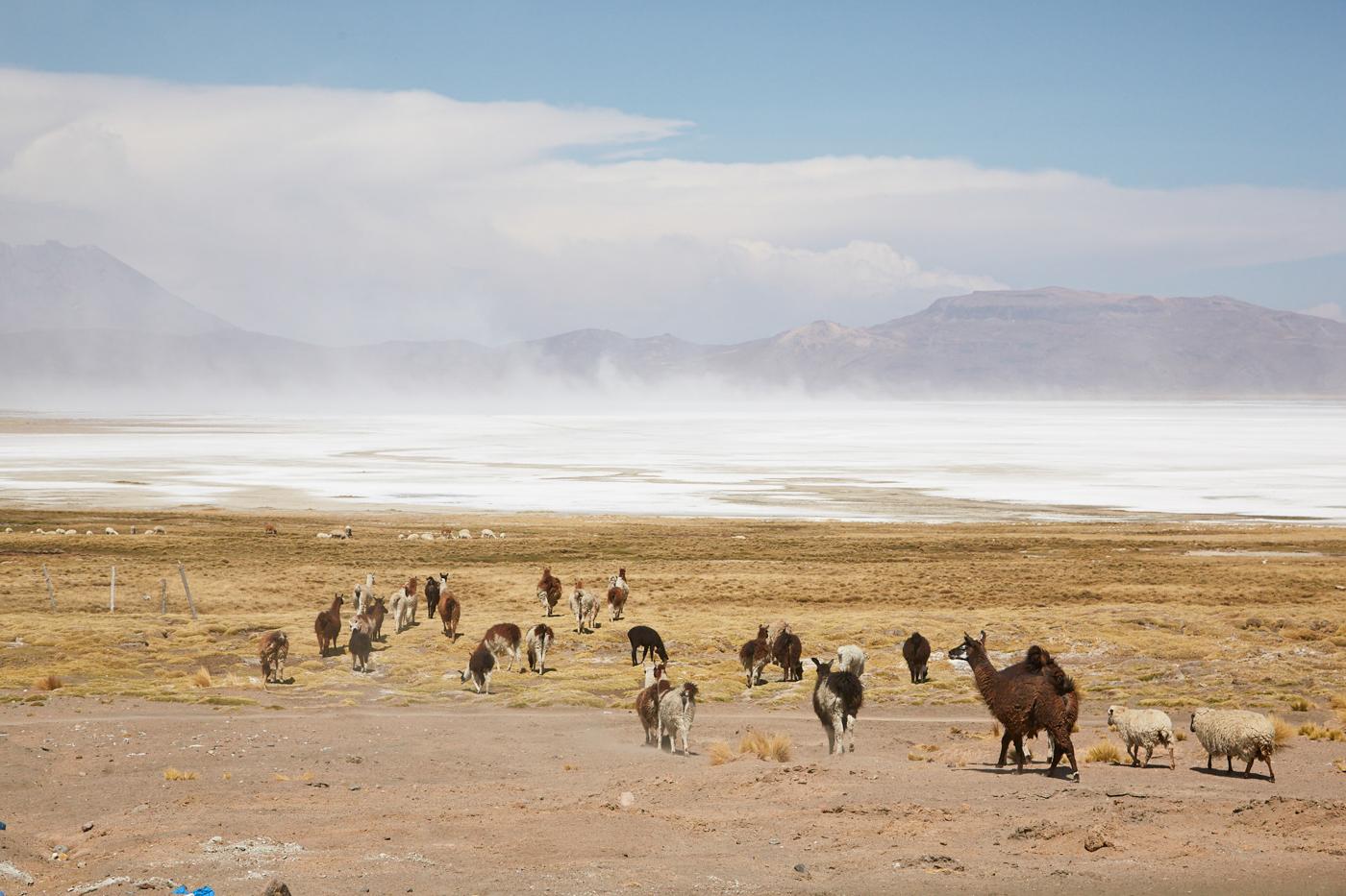 Hier grasen Alpakas, Lamas und Schafe direkt an der riesengroßen Salzlagune mitten im Nationalpark. Im Hintergrund steigt Dunst vom Salzsee auf