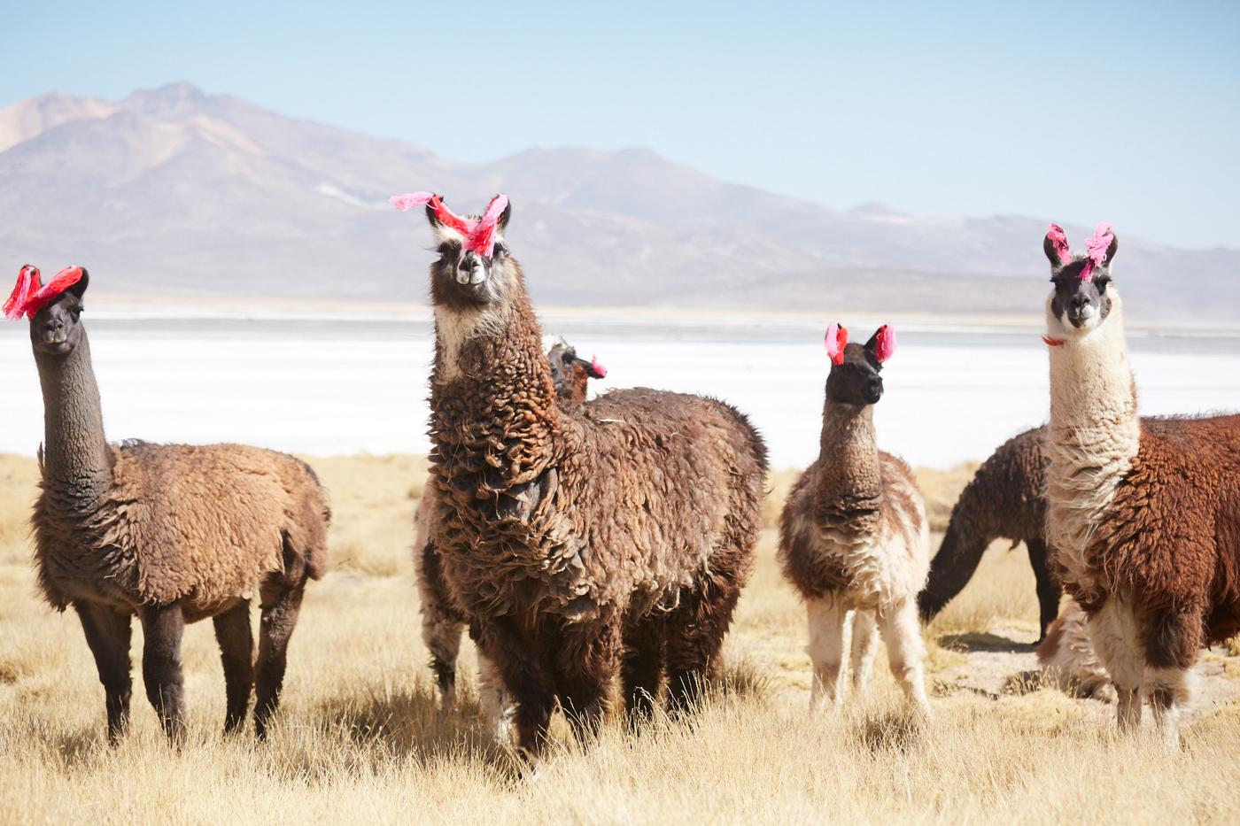 Lamas in Peru beobachten jeden meiner Schritte